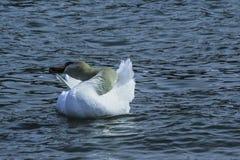 Schwan, der im See sich putzt stockfotografie