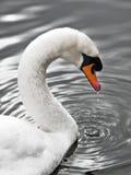 Schwan des silbernen Sees - Portrait stockfotos