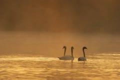 Schwan drei in einem brennenden früher Morgen-Nebel Stockbilder