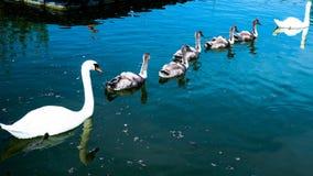 Schwan familie auf der Donau Stockfotos