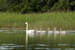 Schwan-Familie auf einem See Stockfotos