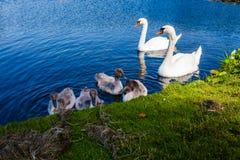 Schwan-Familie im Wasser ein schönen Tag Lizenzfreies Stockfoto