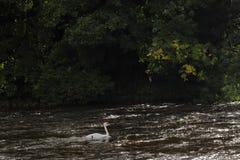 Schwan im Fluss lizenzfreies stockfoto