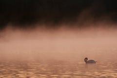 Schwan im früher Morgen-Nebel Stockfotografie
