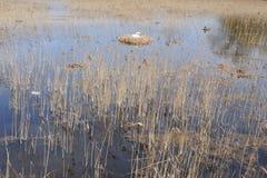 Schwan im Nest und Sitzen auf Eiern mitten in einem See umgeben durch Schilf in Nord-Polen Stockfoto