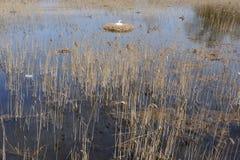Schwan im Nest und Sitzen auf Eiern mitten in einem See umgeben durch Schilf in Nord-Polen Stockbild