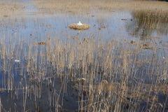 Schwan im Nest und Sitzen auf Eiern mitten in einem See umgeben durch Schilf in Nord-Polen Stockbilder
