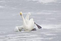 Schwan im Schnee Lizenzfreies Stockfoto