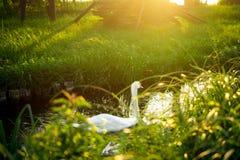 Schwan im Sonnenunterganglicht Lizenzfreie Stockbilder