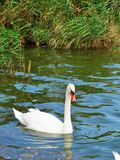 Schwan im Tabacariei-Park, Constanta, Rumänien, Sommerzeit lizenzfreies stockfoto