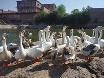 Schwan im Teich stockbilder