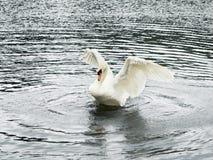 Schwan im Teich Stockfotografie