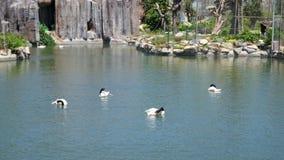 Schwan im Wasser Lizenzfreie Stockbilder