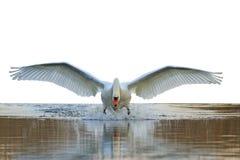 Schwan mit den offenen Flügeln lokalisiert Stockfotos