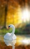 Schwan mit Reflexions- und Herbstwald Stockbild