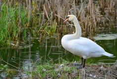Schwan nahe dem Teich Lizenzfreie Stockfotos