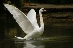 Schwan nimmt Flügel lizenzfreies stockbild