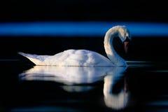 Schwan reflektiert im dunklen Wasser Lizenzfreie Stockfotos