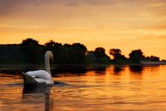 Schwan in Richtung zum Sonnenuntergang Stockbild