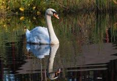 Schwan schwimmt entlang dem See im wilden Lizenzfreie Stockfotos