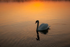 Schwan am Sonnenuntergang Lizenzfreie Stockfotografie