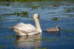 Schwan und Cygnets in Donau-Delta Rumänien lizenzfreies stockbild