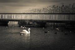 Schwan und Enten in Schwarzweiss auf dem See Stockfotos