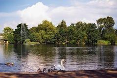 Schwan und Signets auf einem Teich Lizenzfreies Stockbild