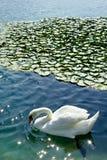 Schwan und waterlilies Stockfotografie
