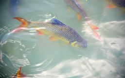 Schwanenfeld's tinfoil barb fish in the canal. Red tail carp s Royalty Free Stock Images