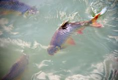Schwanenfeld's tinfoil barb fish in the canal. Red tail carp s Royalty Free Stock Photo
