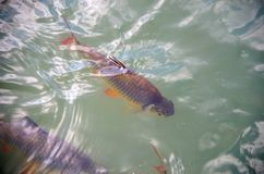 Schwanenfeld's tinfoil barb fish in the canal. Royalty Free Stock Photo