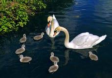 Schwanfamilie Lizenzfreie Stockfotos