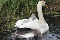 Schwanfamilie auf dem Fluss stockfotografie