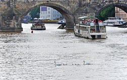 Schwanfamilie auf der Moldau zwischen Kreuzschiffen unter Charles Bridge Prag, Tschechische Republik Lizenzfreie Stockbilder