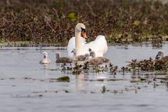 Schwanfamilie mit Küken in Donau-Delta, Babyschwan in der Vogelbeobachtung Rumänien-wild lebender Tiere stockbilder