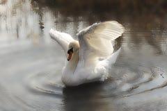 Schwanflügel zu fliegen lizenzfreies stockbild