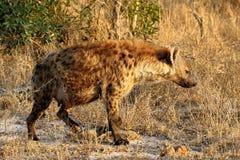 Schwangere Hyäne im Nationalpark Kruger in Südafrika Lizenzfreie Stockfotografie
