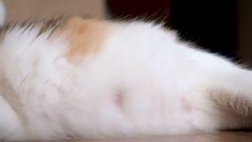 Schwangere Katze des dicken Bauchs Kätzchen bewegen sich in den Magen der Katze Nicht schon geborene Kätzchenbewegungen im Bauch  stock footage