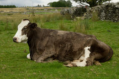 Schwangere Kuh. Stockfotografie