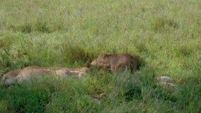 Schwangere Löwin, die nach einem bequemen Platz unter Schatten eines Baums im Stolz sucht stock video footage