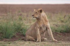 Schwangere Löwin im Serengetti Stockbild