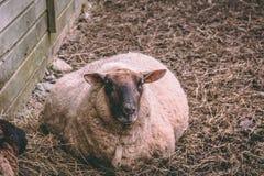 Schwangere Schafe, die auf den Boden legen stockfotografie