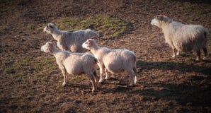 Schwangere Schafe Elternteil-Zuchttiere stockbild