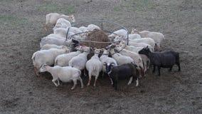 Schwangere Schafe und Fütterung stockbild