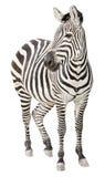 Schwangere Vorderansicht des Zebra, die Ausschnitt schaut Lizenzfreie Stockfotos