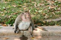Schwangerer Affe Stockbild