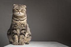 Schwangeres starkes Grau streifte die Scottishfaltenkatze, die auf einer Tabelle sitzt Lizenzfreies Stockfoto