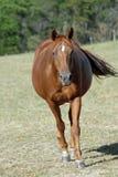 Schwangeres Stuten-Pferd Stockfoto