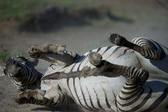 Schwangeres Zebra, das im Staub liegt Stockbild